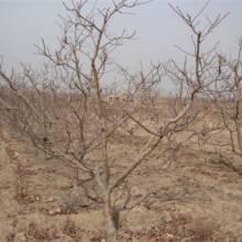 山西梨树 苹果树 山楂树 杏树