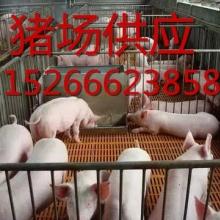 供应三元仔猪购满100头仔猪免费送回家