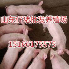 山东仔猪今日最新价格