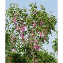 香花槐基地 出售自家苗圃香花槐2-5公分